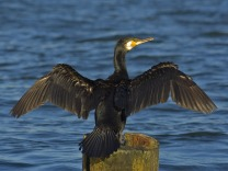 Phalacrocorax_carbo