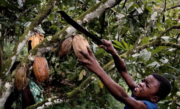 Elfenbeinkueste, Sinikosson, Kakaoplantage, Kakao, Plantage, Anbau, Landwirtschaft, Junge, Portrait, Kind, Kinderportrait, Kinderarbeit, Einheimischer, Bevoelkerung, Westafrika, Afrika, 02.10.2008. QF   English: Ivory Coast, Sinikosson, cocoa plantation, agriculture, cultivation, boy, portrait, child labour, chocolate, West Africa, October 2, 2008. 11 year old Ibra, using a machete tied to a stick to harvest cocoa pods from a tree on father's cocoa plantation on outskirts of village of Sinikosson. He does not attend school, work begins at 8 am.  He has no idea what happens to the cocoa beans. || Kakao an der Elfenbeinkueste. Der 11-jaehrige Ibra erntet mit seiner Machete reife Kakaofruechte auf der Kakaoplantage seines Vaters am Rande des Dorfs Sinikosson. Er besucht keine Schule, die Arbeit beginnt in der Regel um 8 Uhr morgens und umfa??t das abschneiden der Fruechte, einsammeln, mit der Machete aufschlagen, Bohnen entnehmen... Die Familie lebt von der Hand in den Mund und kann keinerlei Ruecklagen bilden. Der Verkauf der Kakaobohnen bildet fuer sie die einzige veritable Einnahmequelle. Ibra weiss nicht was anschliessend mit den Bohnen geschieht. Kakao ist der Grundstoff zur Herstellung von Schokolade. Das Land ist weltgroesster Kakaoproduzent und -exporteur, mit einer Ernte von ca. 1 Million Tonnen in 2008. Damit hat es einen Anteil von ca. 34 % der weltweiten Gesamtproduktion. Hauptsaechlich bedingt durch Koruption in Regierung und Kakaobehoerden und dem Eigeninteresse multinationaler Konzerne (Cargill, ADM, Callebaut, Nestl?Ê) ist das Einkommen der Erzeuger  (Kleinbauern) kaum existenzsichernd. Als direkte Folge und mangels Alternativen sind Kinderarbeit und Ausbeutung, bis hin zu Kinderhandel, weit verbreitet. Schulen, Krankenhaeuser, fliessendes Wasser, Strom, Telekommunikation und ausgebaute Strassen existieren in gro??en Teilen der Anbaugebiete nicht. Als Kakao bezeichnet man die Samen des Kakaobaumes (Kakaobohnen).  Die reifen, je nach Sorte gr??ngelb bi