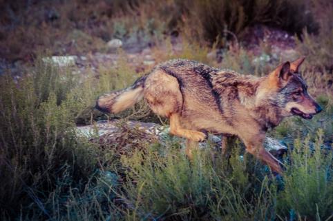 lobo sierra culebra