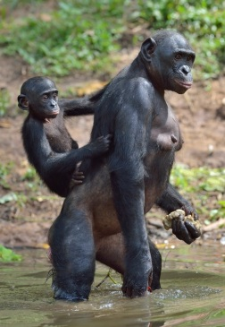 bonobo3